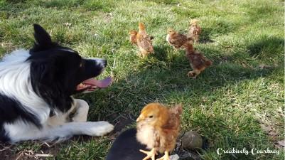 Chicks Update 5